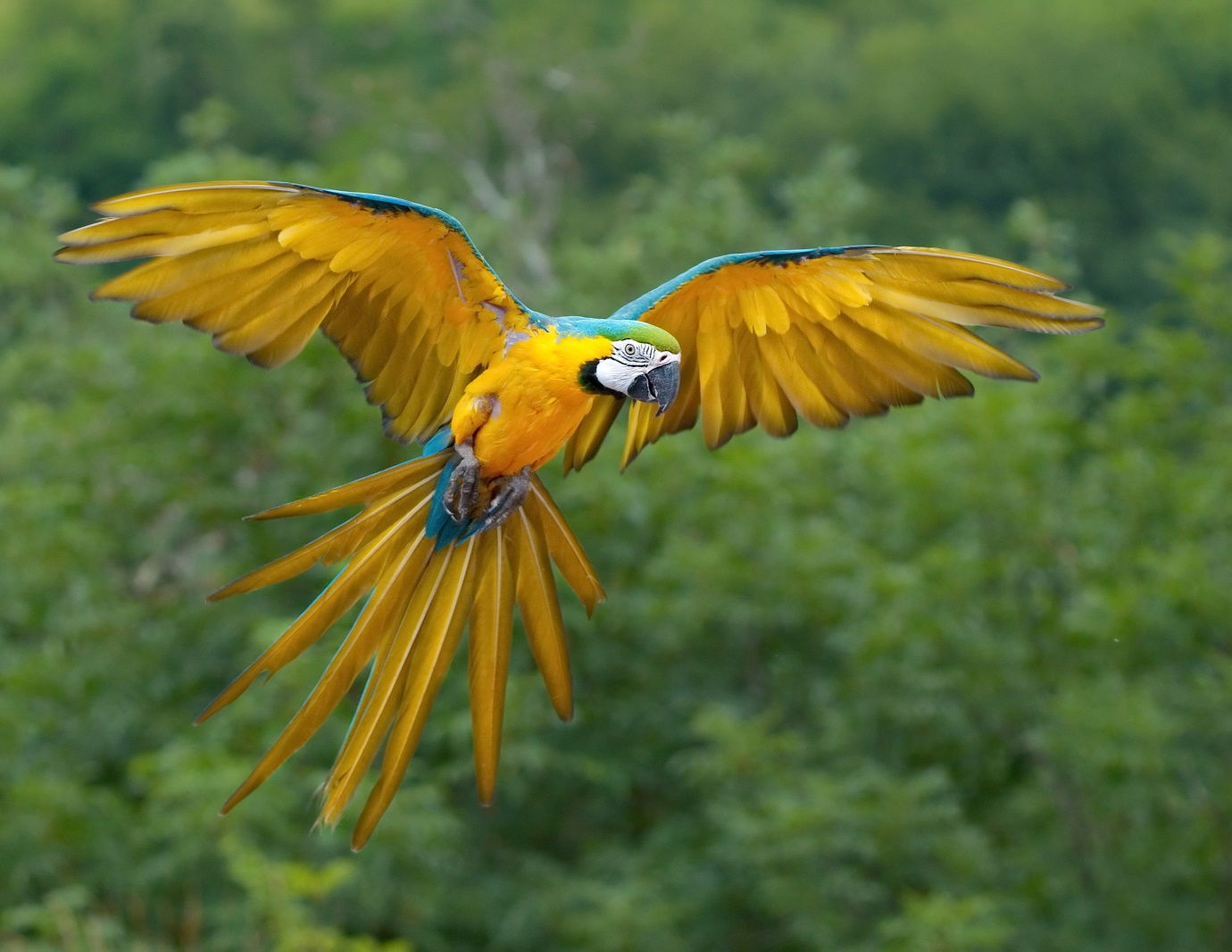 Blue and Yellow Macaws Giving Mating Calls