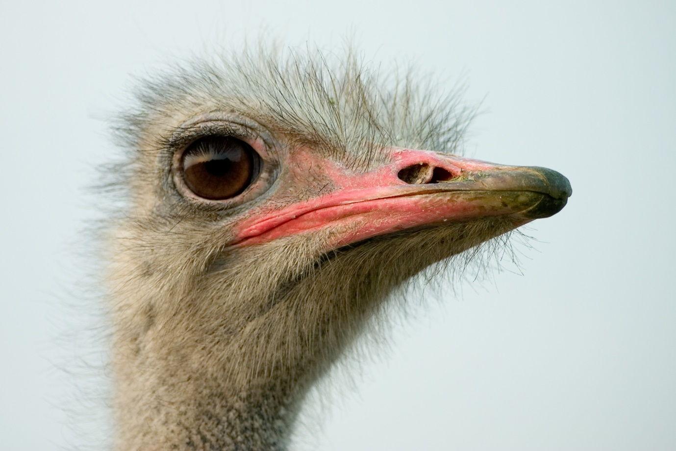Ostriches' Love