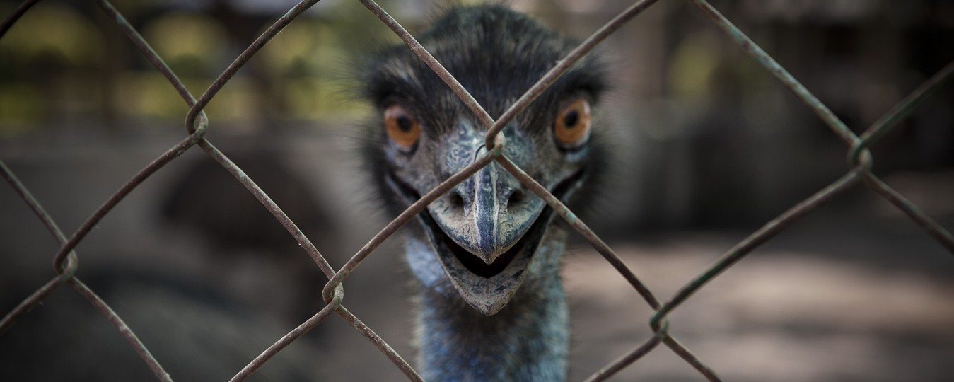 The Great Emu War - Tiff Between Humans & Emu Birds